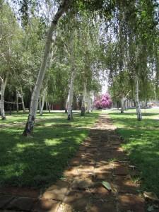 birch trees in grid pattern